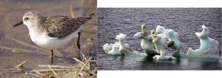 Kuva 2. Tunnettu ja vähemmän tunnettu laji, joita ilmastonmuutos uhkaa; jääkarhu ja pikkusirri.